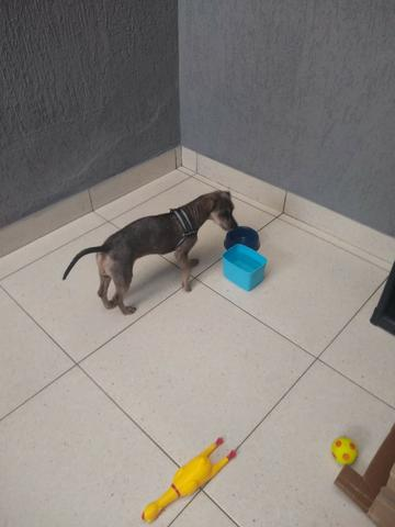 Adoção de cachorro - Foto 2