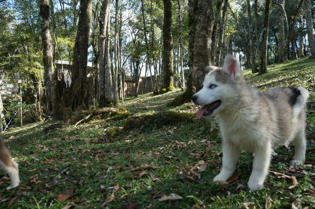 !!!!! Husky Siberianos Excelente Padrão !!!! - Foto 4