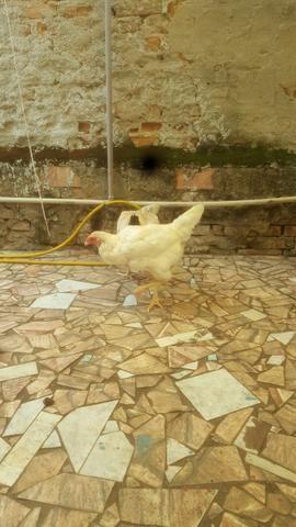Frango e galinhas - Foto 2