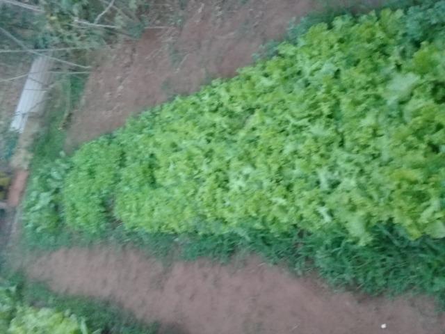 Venda de Frangos limpos e Verduras Orgânicas - Foto 6