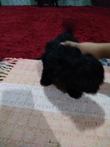 Vendo poodle - Foto 2