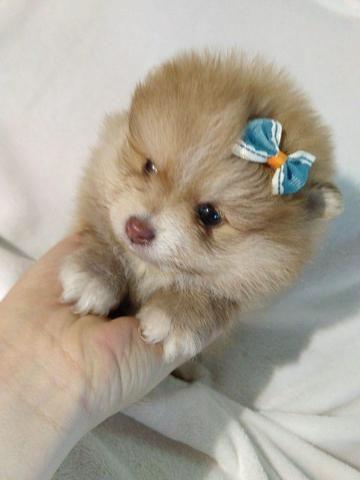 Super promoção lindos filhotes de Spitz Alemão Baby Face disponíveis - Foto 2