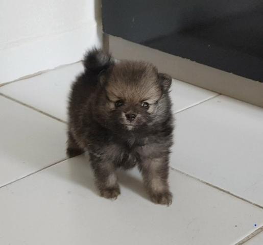Lindo filhote de Spitz Alemão, com pedigree e ótima procedência - Foto 3
