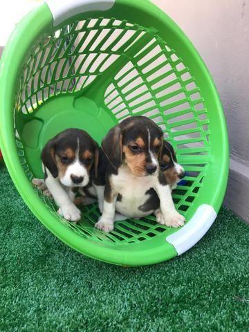 Beagle com pedgree e microchip - Foto 4