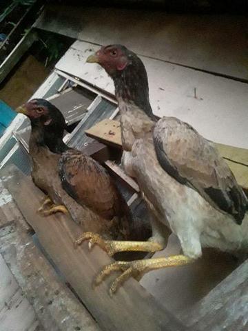 Vendo duas galinhas Índia boas de tirar raça  - Foto 2