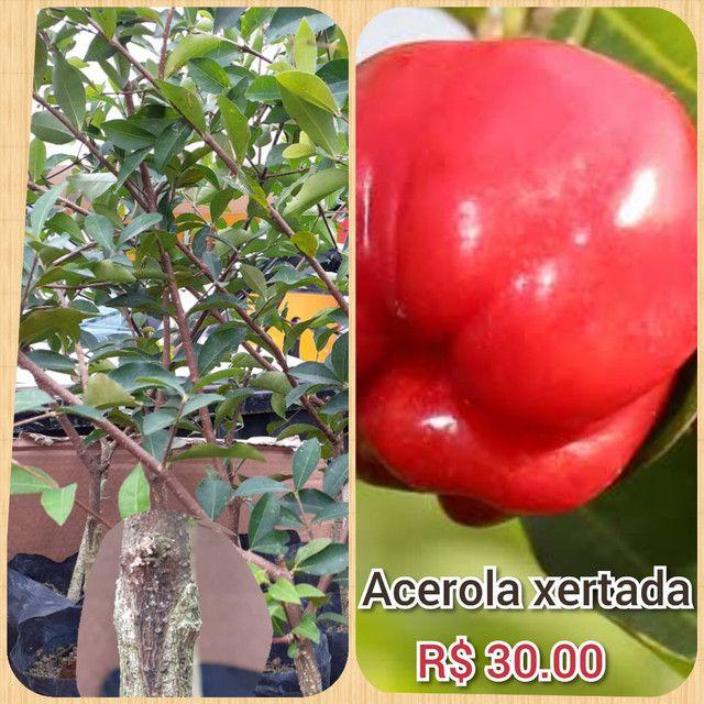 Plantas cupuaçu sem caroço xertato - Foto 3