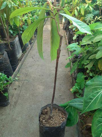 Plantas cupuaçu sem caroço xertato - Foto 2