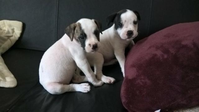 Filhote Bulldog Americano Fêmea Cachorros E Acessórios Gruta De