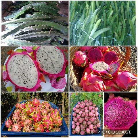 Mudas de pitaya de diversas variedades