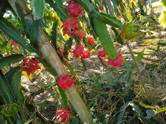 Mudas de pitaya de diversas variedades - Foto 4