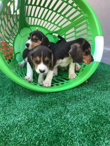 Beagle com pedgree e microchip - Foto 2