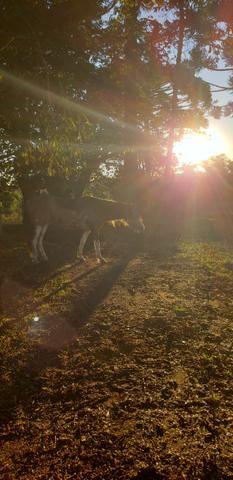 Casal cavalos crioulos - Foto 3