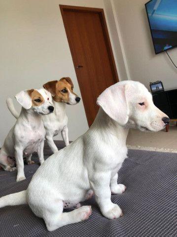 Filhote macho de Jack Russell Terrier - Foto 2