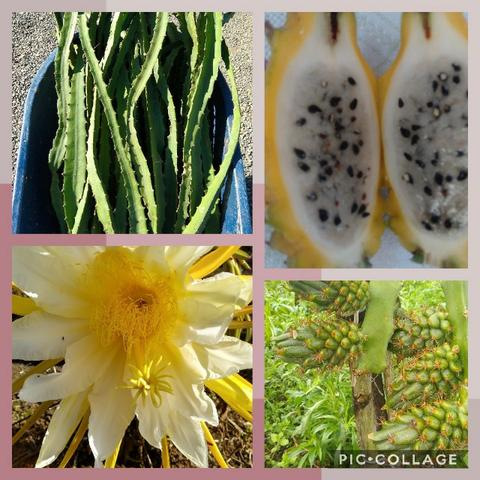 Mudas de pitaya de diversas variedades - Foto 2