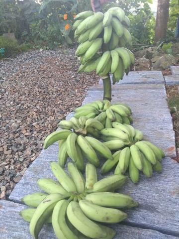 Banana prata - Foto 2