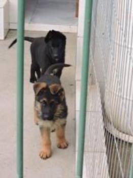 Filhotes com pedigree - Foto 3
