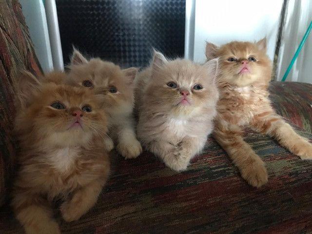 Vendo gatos persas originais da fábrica