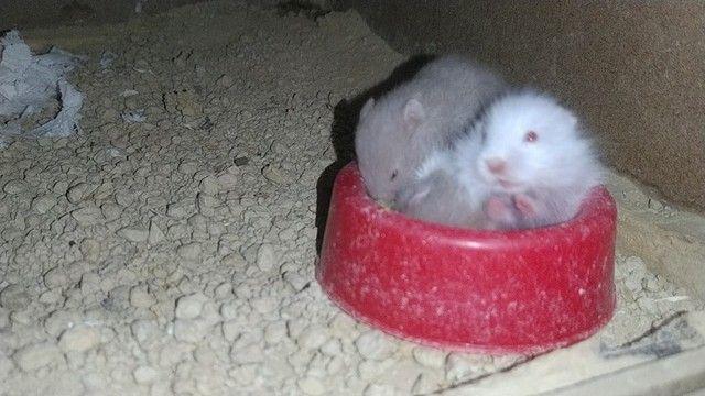 Hamsters sírios - Foto 6