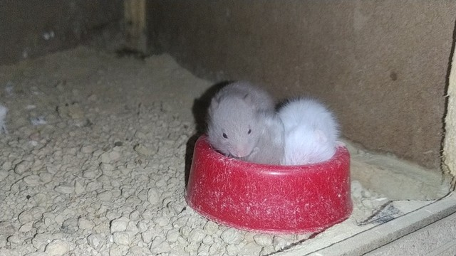 Hamsters sírios - Foto 3