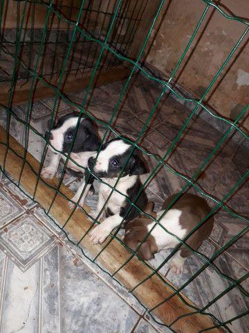 Letícia Bull Kennel BH Filhotes de American Bully XL - Foto 2