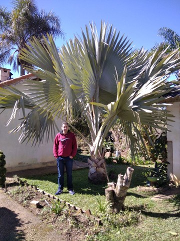 Mudas de Palmeira Bismackia Nobilis - Foto 4