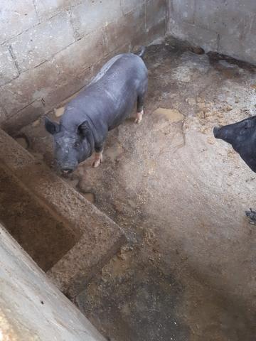 Casal de porco caipira - Foto 4