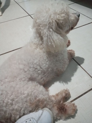 Poodle original pra cruzar  - Foto 3