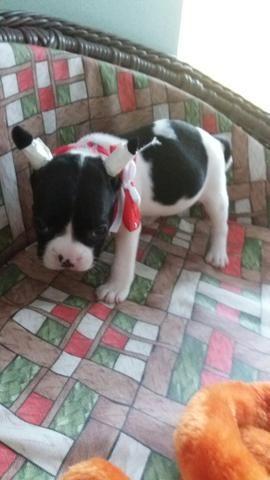Bulldog frances femea 10 x270