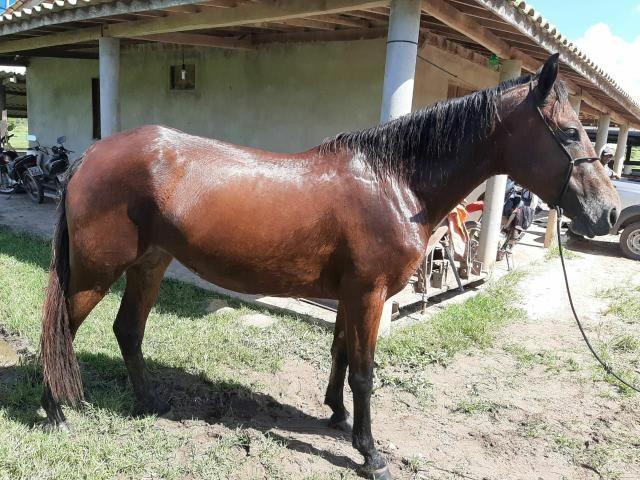 Égua Quarto de milha/Mangalarga sem registro