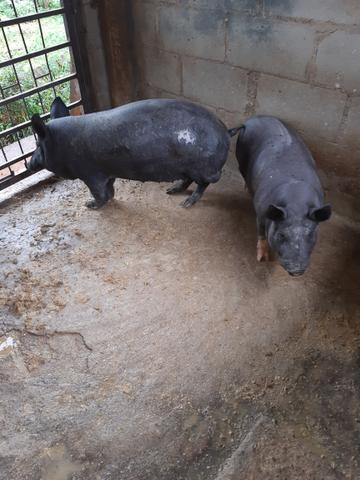 Casal de porco caipira