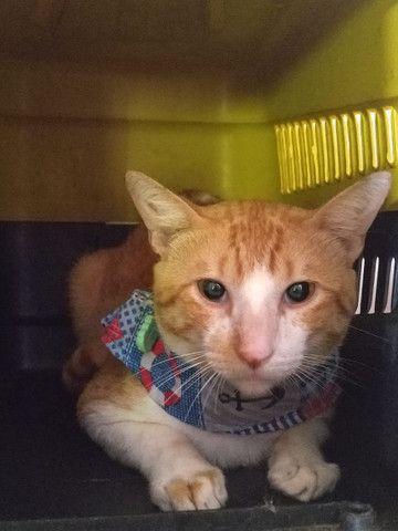 Adoção Gato Castrado - Foto 2