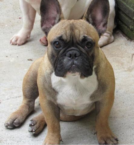 Bulldog Buldogue Francês - TOP - Alto Padrão