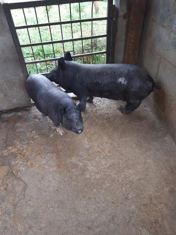 Casal de porco caipira - Foto 2