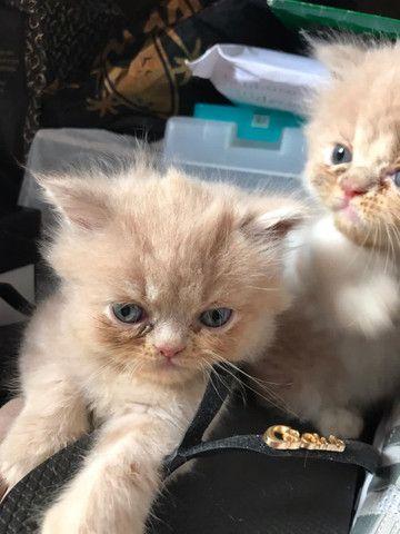 Vendo gatos persas originais da fábrica - Foto 5