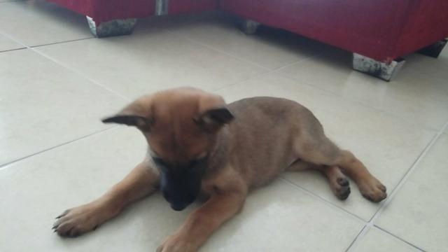 Vendo filhote: Cão pastor belga malinois