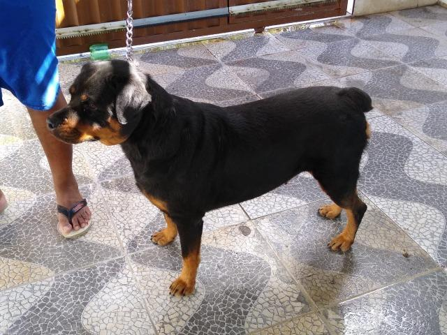 Cadela Rottweiler