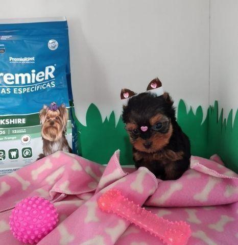 Yorkshire Terrier micro fêmea ja com microchip e vacinada
