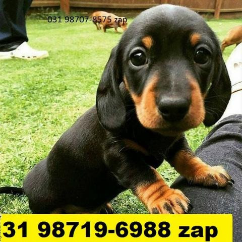 Canil Filhotes Cães Perfeitos BH Basset Lhasa Maltês Shihtzu Poodle Yorkshire