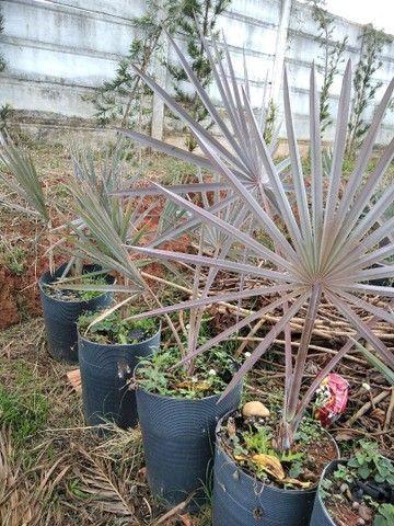 Mudas de Palmeira Bismackia Nobilis