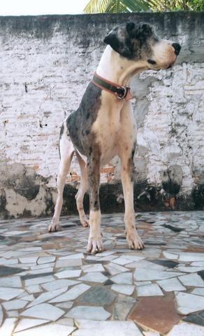 Vende- se Dogue alemão fêmea