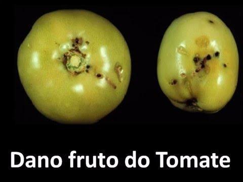 Bio Tuta Atrativo para traça do tomate - Foto 4