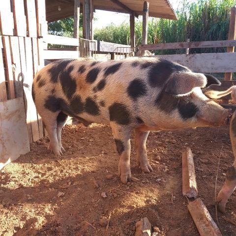 Porco caipira, para fazer cruzamento  - Foto 2