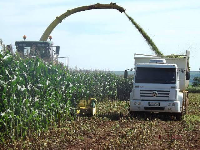 Silagem de milho  - Foto 2