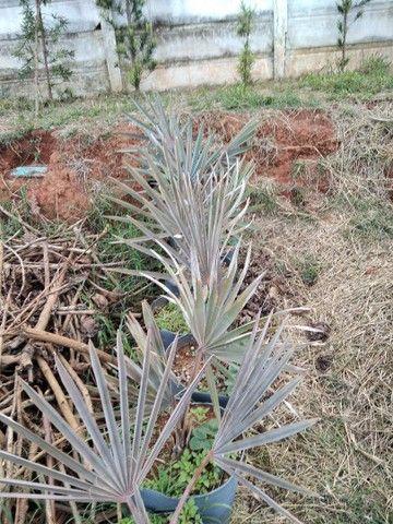 Mudas de Palmeira Bismackia Nobilis - Foto 2