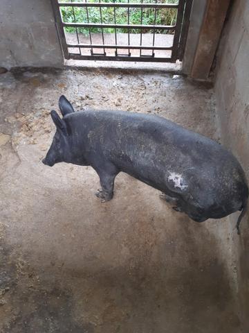 Casal de porco caipira - Foto 3