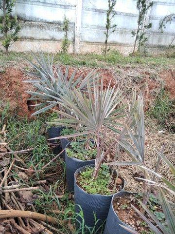 Mudas de Palmeira Bismackia Nobilis - Foto 3