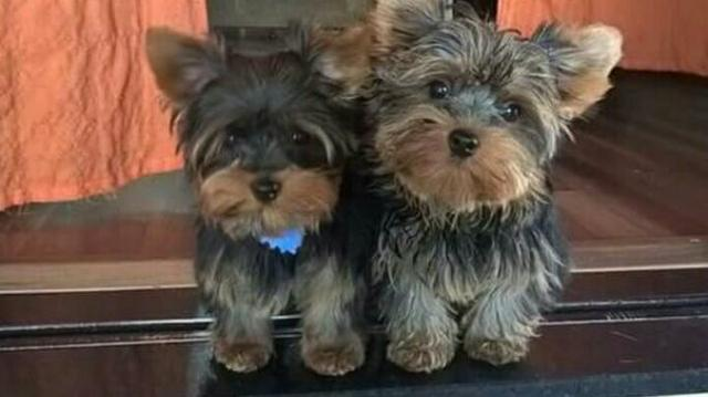 Yorkshire terrier micro