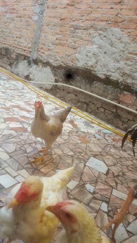 Frango e galinhas - Foto 5