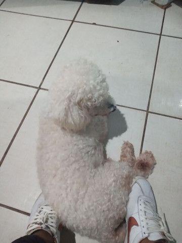 Poodle original pra cruzar  - Foto 2