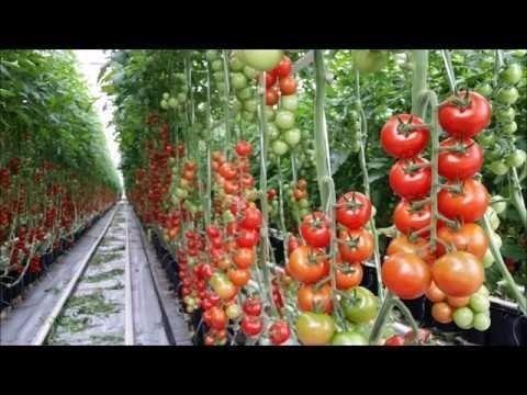 Bio Tuta Atrativo para traça do tomate - Foto 2